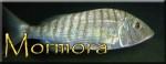 Mormora