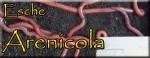 Arenicola